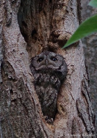 BLOG screech owl about me2