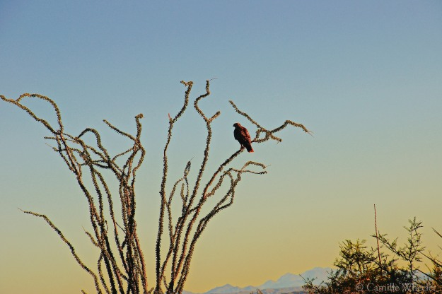 November 1, 2015: Red-tailed hawk in ocotillo, Big Bend National Park