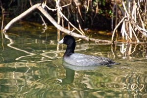 The American Coot is a familiar sight on Lady Bird Lake.