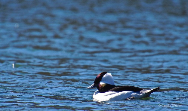 The beautiful Bufflehead duck winters on Lady Bird Lake.