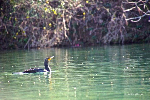 Weary of my close-up photography, this Lou Neff Point cormorant finally took to the water.