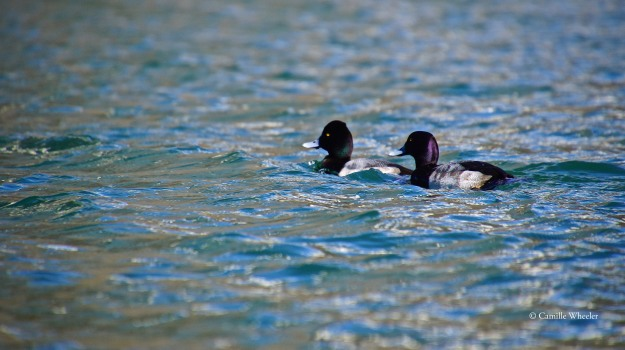 A pair of Lesser Scaups accompanied me for a short stretch on Lady Bird Lake.