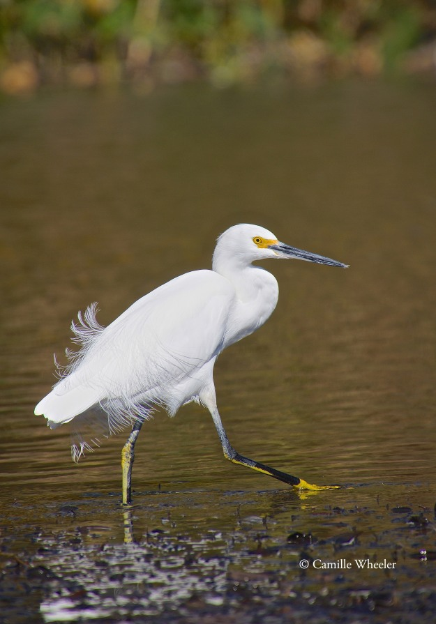This high-stepping egret deftly navigated the same shallow-water muck I was trying to avoid.