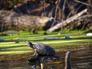 Red-eared Slider turtles ignore the bumping of my kayak into shoreline bramble.