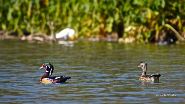 For me, Wood Ducks — male Wood Ducks, that is, as seen at left — are the Painted Buntings of the water. They're stunningly gorgeous.